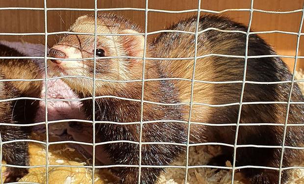 Two ferret