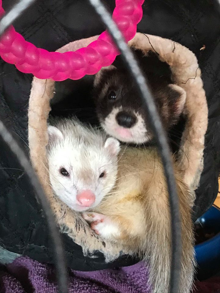 Ferrets in a bed