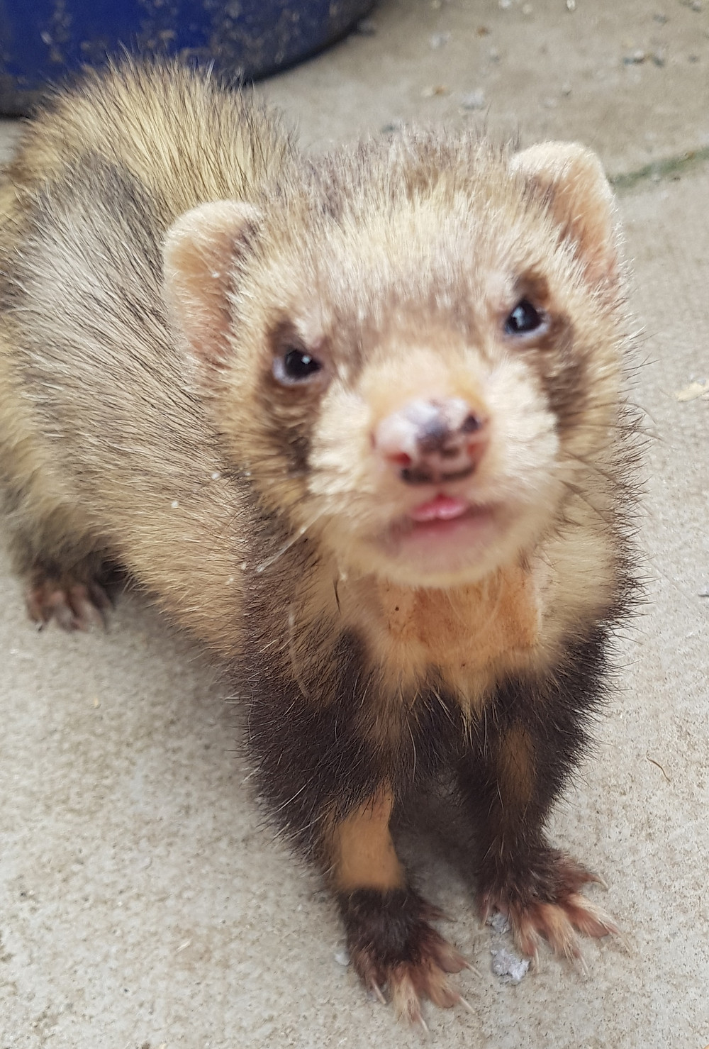 Ron the geriatric ferret