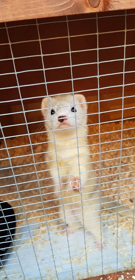 Little Lizzy the ferret