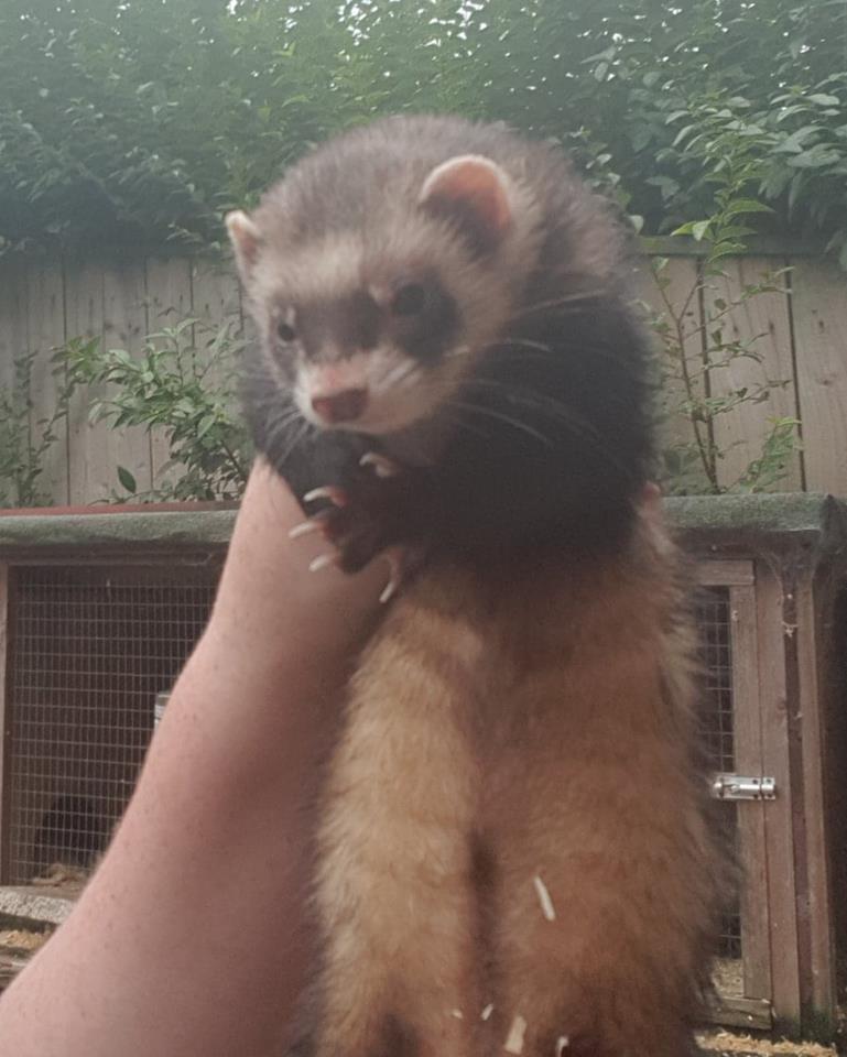 Rescue ferret