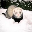 snowy ferret