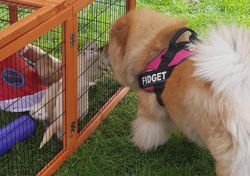 dog and ferrets