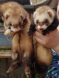 Beautiful ferret jills Buffy and Lexa have come into the rescue