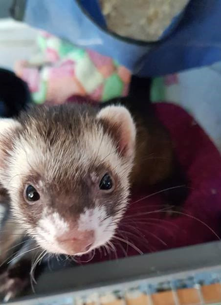 Pip Squeak the brown and white ferret image