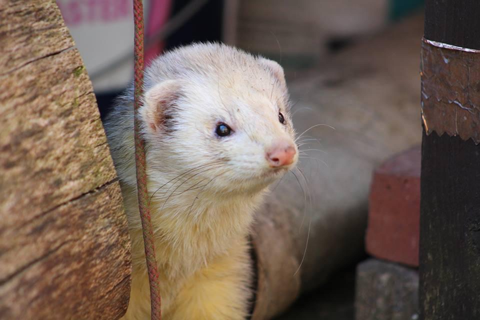 posing ferret