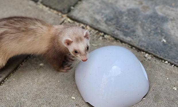 Sandy ferret playing