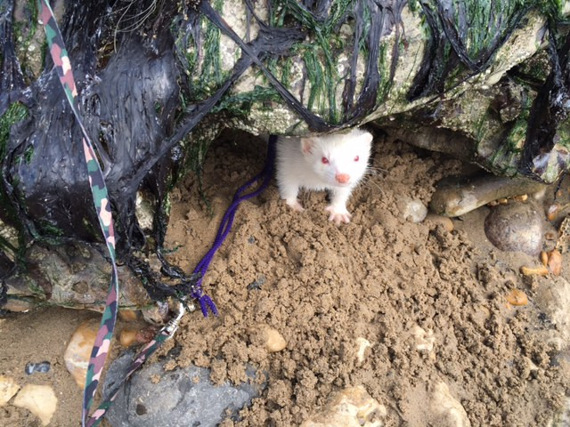 Khaleesi Ferret in her prime on one of our group ferret walks to Seaham Beach