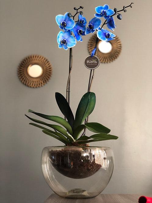 Orquídea azul La noche estrellada