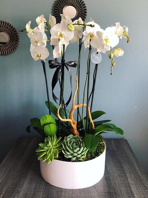 6 Orquídeas Pureza