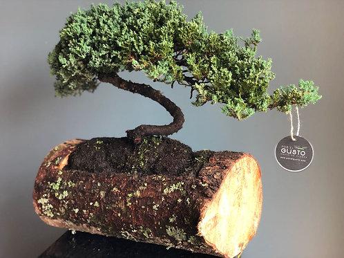 Bonsai Junípero 13 años de edad, base madera
