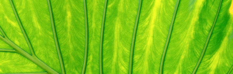 closeup-of-tropical-leaf-75BYHWX-2.jpg