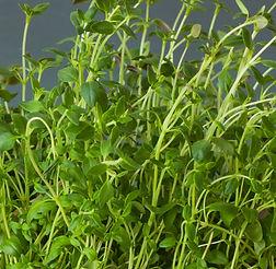 fresh-thyme-herb-in-white-pot-P72ED86.jp
