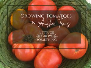 Tomato Grow Guide for Austin, Texas!
