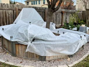 Protecting Plants from Texas Cold Snaps