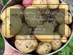 Potato Guide, grow those tubers!