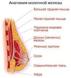 Увеличение груди Ярославль строение груди