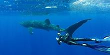 Whale Shark St Helena
