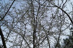 Obstbäumein der Blüte