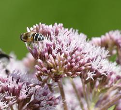 Wildbiene beim Pollensammeln