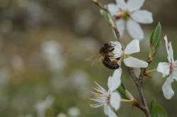 Biene_auf_Blüte
