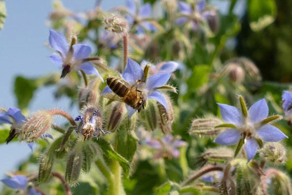 Honigbiene_auf_Poretschblüte