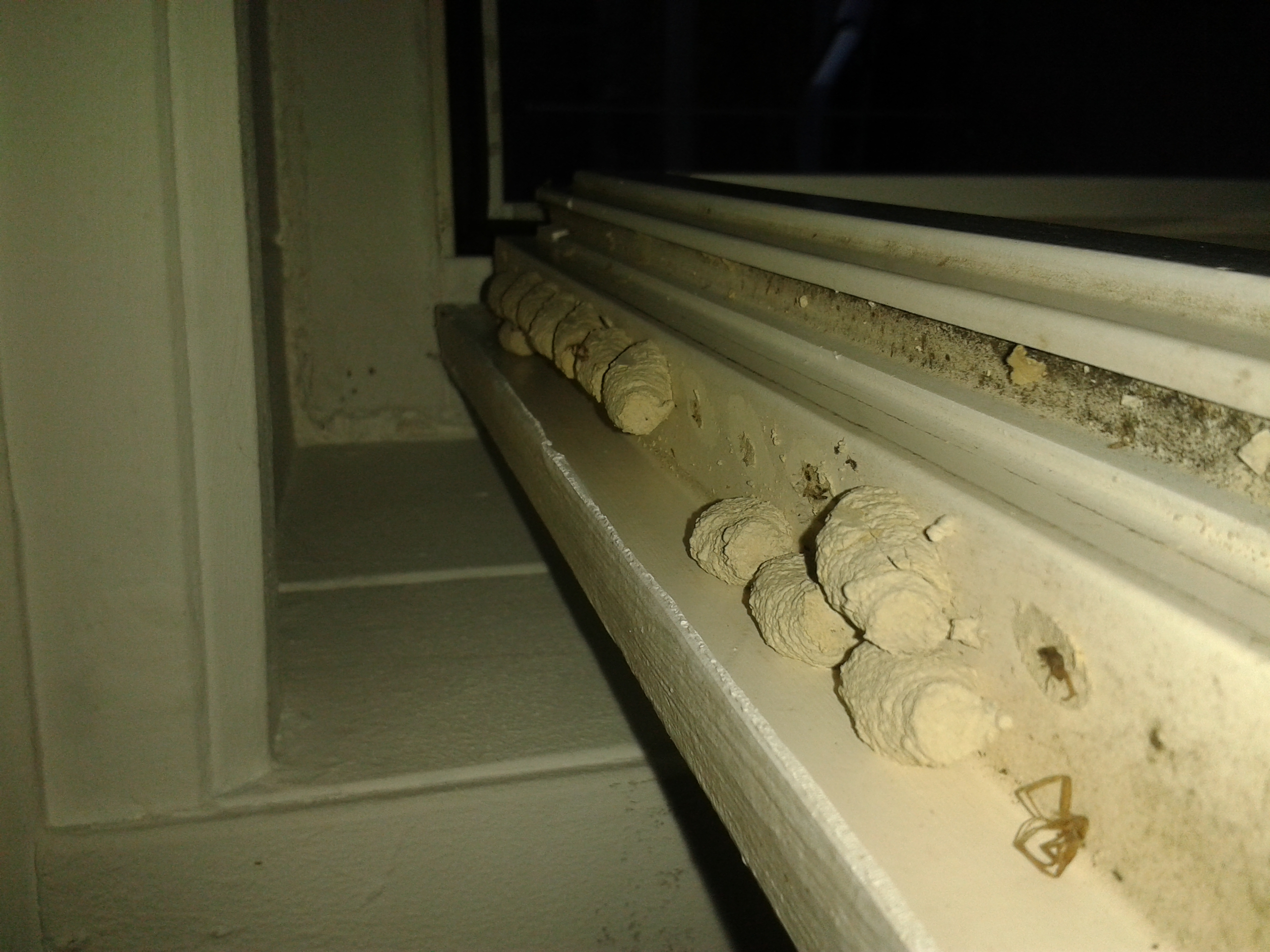 Nester einer Wildbiene an Fenster
