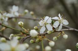 Obstblüten_6