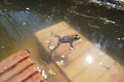Unke im Wasser