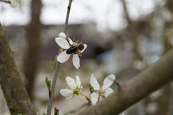 Honigbiene_aufApfelblüte