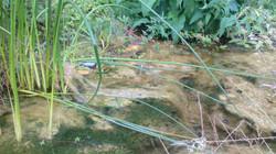 Algen und Wasserpflanzen im Weiher