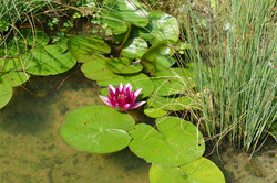 violette Seerosen