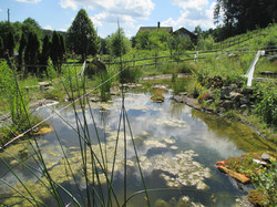 grosse Binsen am Teich