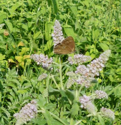 Schmetterling_Waldwiesenvögelchen