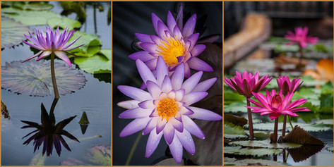 WATER LILY TRYPTIC