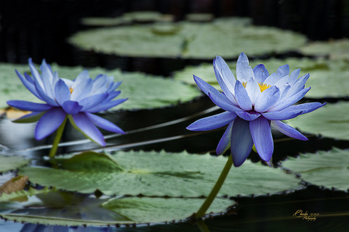 TWO BLUE LILIES