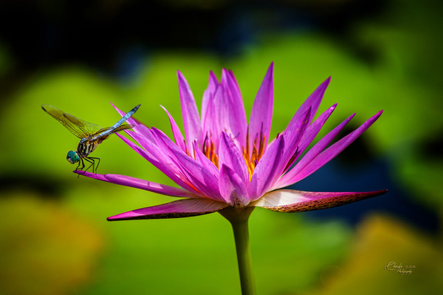 DRAGON FLY ON LILY