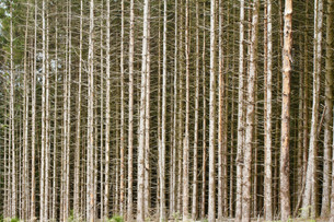 Un bosque de abetos