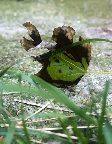 Image of a Leaf