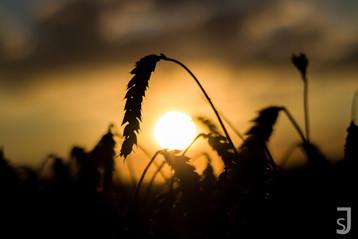 Weizenehre mit der untergehenden Sonne