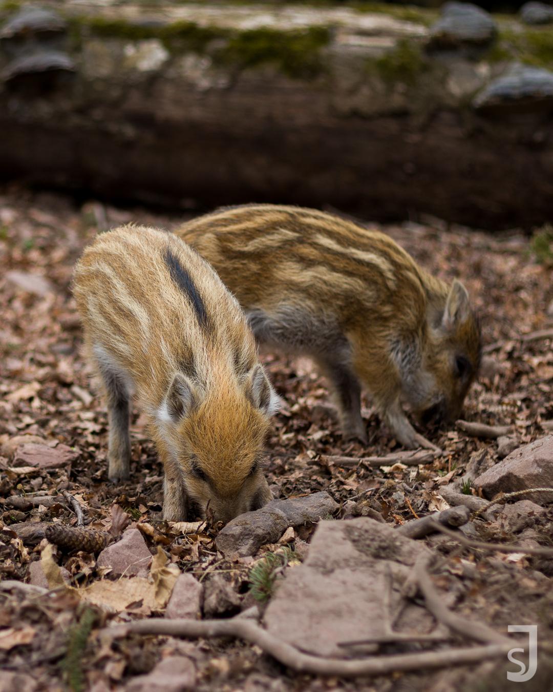 Wildschwein Junge