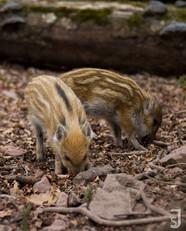 Wildschweinfrischlinge