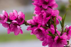 Blüten_Nektarinenbaum