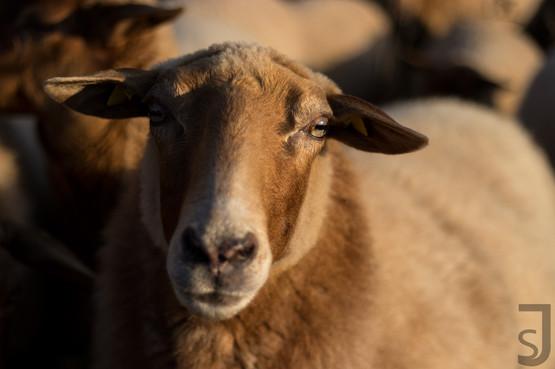Schaf (Coburger Fuchs)