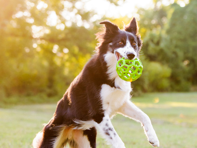 Collie Mix Playing Fetch