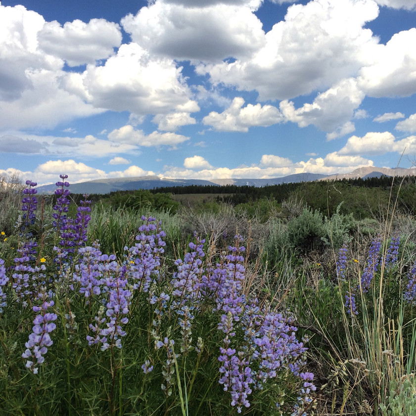 Clouds and lupine