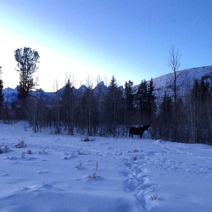 Sunset Moose