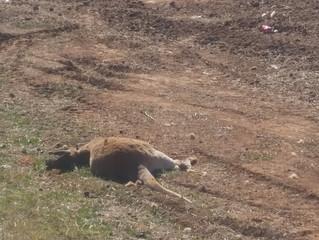 The outback scenes-kangaroos