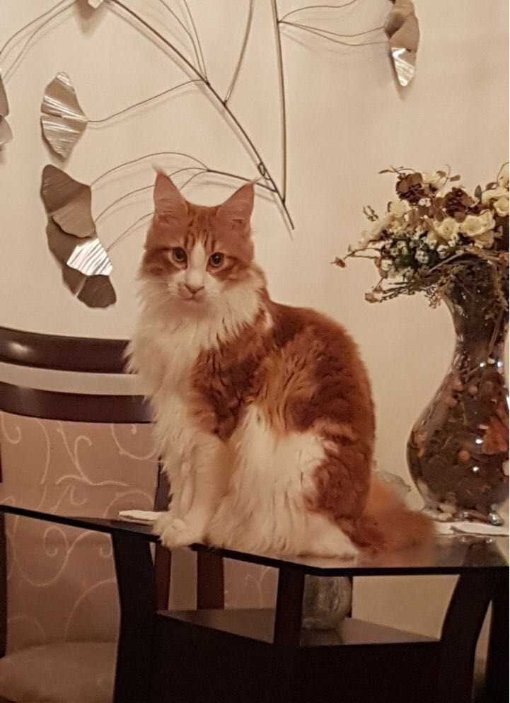 Red Tabby Classic White
