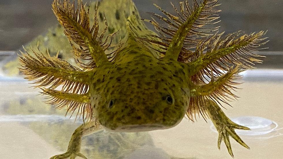 "#5 Wild Type Axolotl with Starburst potential 4-5"""